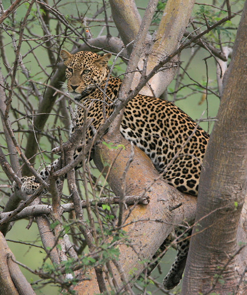 Leopard, Luipaard