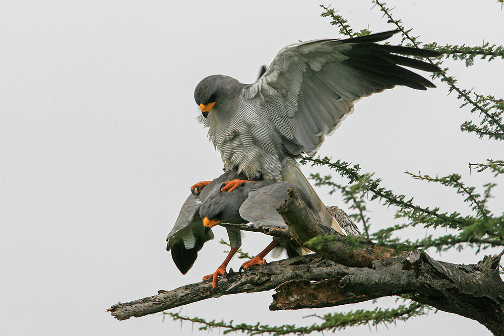 Dark Chanting Goshawk mating
