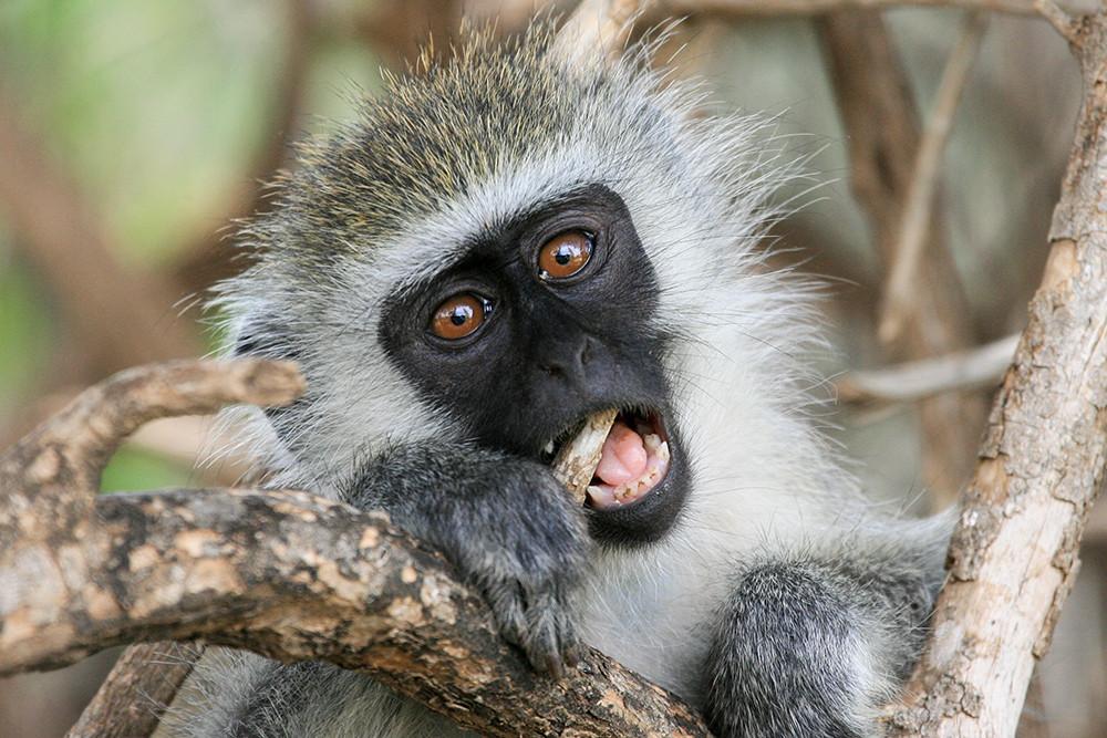 Blue Velvet Monkey