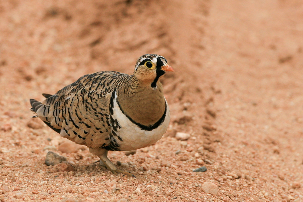 Black faced Sandgrouse