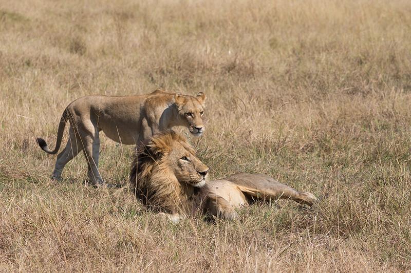 Lion's, Leeuwen