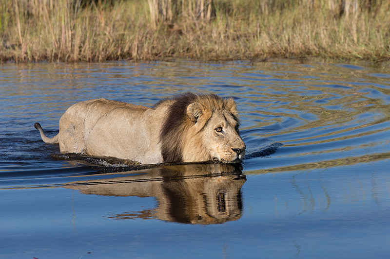 Lion in water