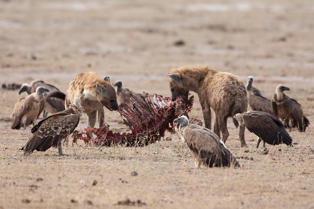 Hyena's with Vultures,