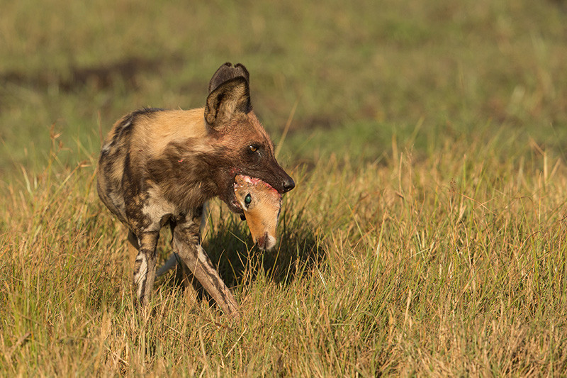 African Wild Dog with Impala head, Afrikaanse Wilde Hond met Impala