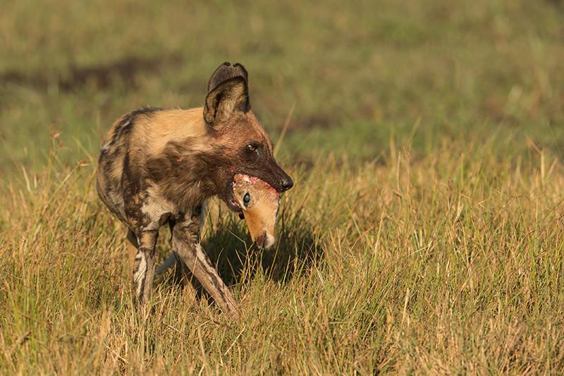 African Wild Dog with Impala head, Afrikaanse Wilde Hond met Impala
