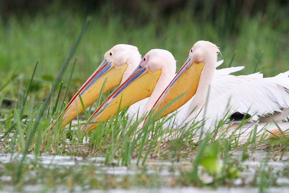 Pelikanen, Pelicans