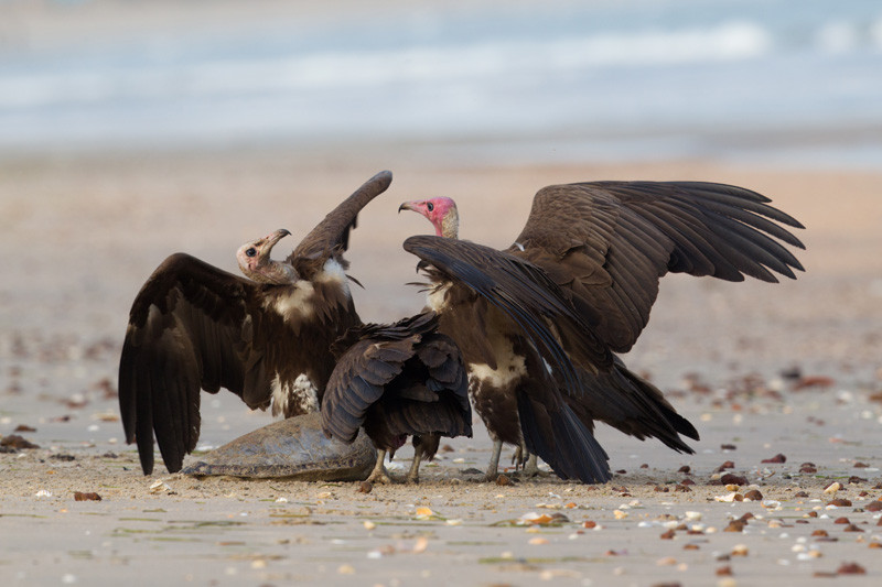 Hooded Vultures with Prey