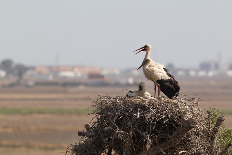 Stork, Ooievaar