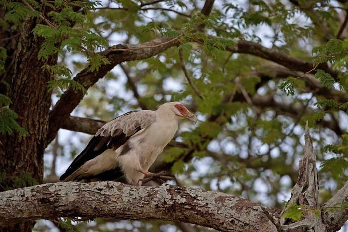 Palnut Vulture