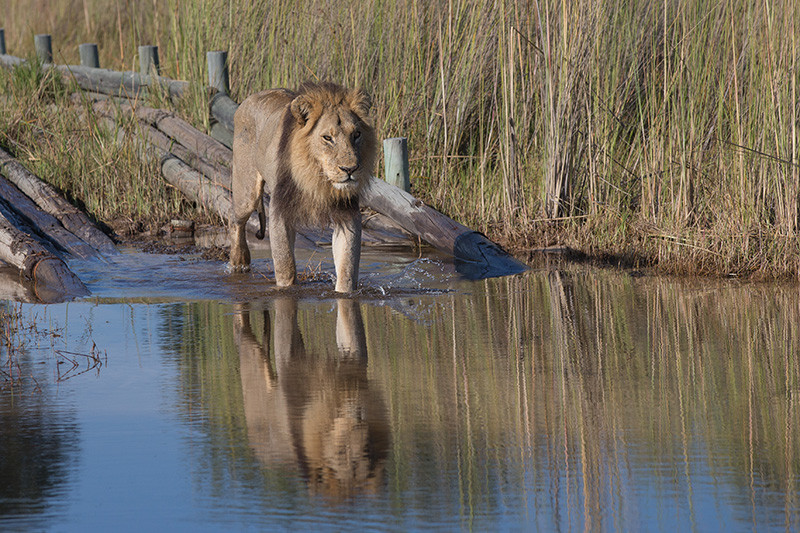 Lion getting into the water