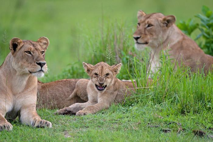 Leeuw, Lion