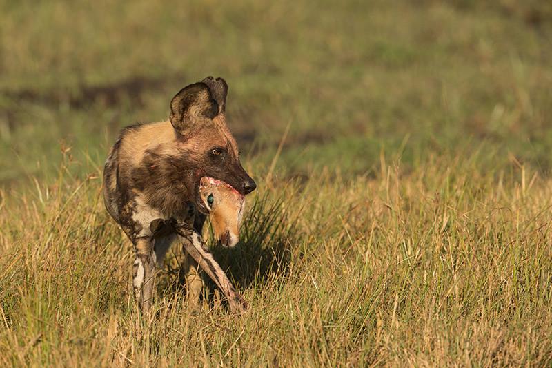 African Wild Dog with prey, Afrikaanse Wilde Hond met buit