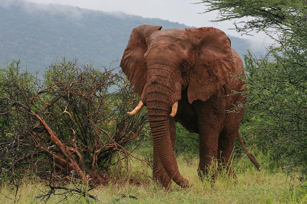Elephant, Olifant