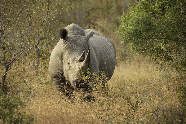 Neushoorn, Rhino