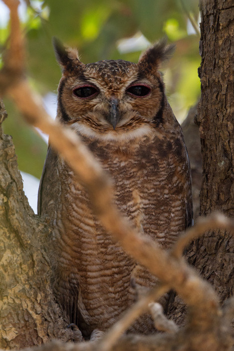 Greyish Eagle Owl