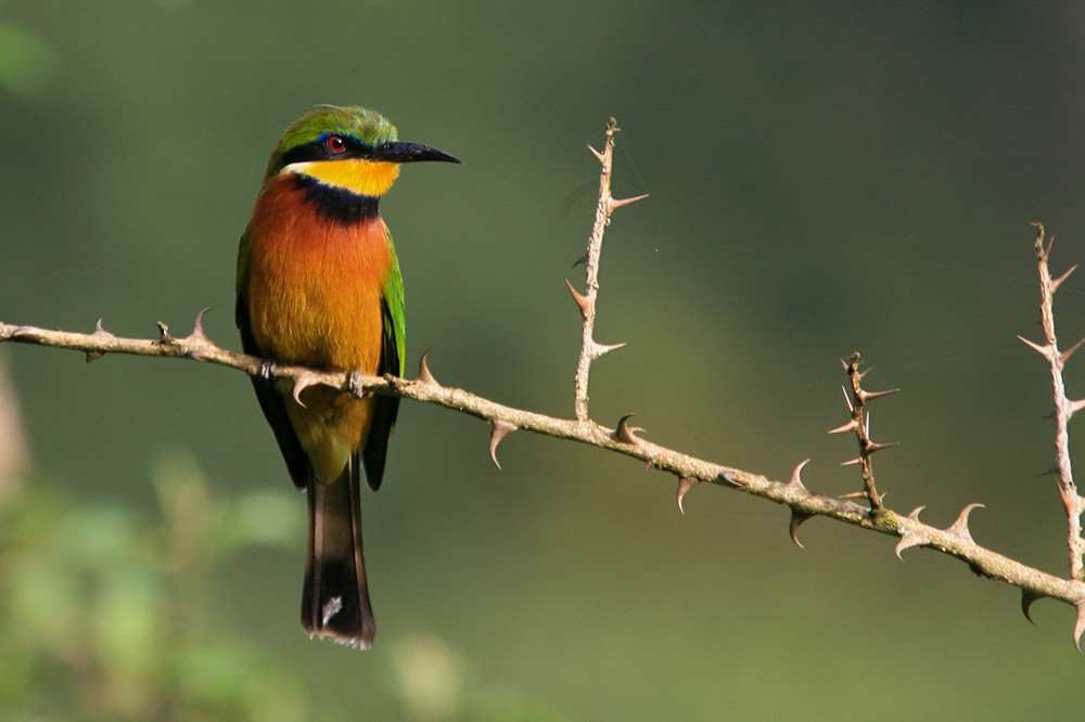 Cinnamun Chested Bee-eater