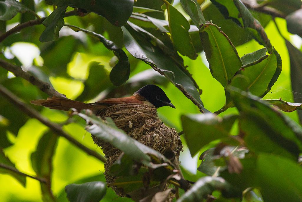 Seychelles Black Paradise Flycatcher