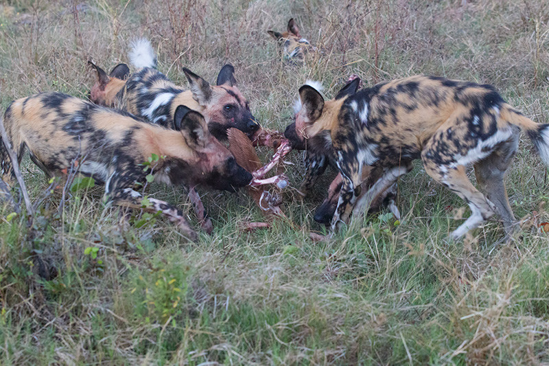 African Wild Dogs with prey, Afrikaanse Wilde Honden