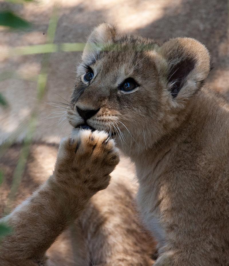 Lion young, Jonge leeuw