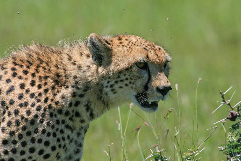 Cheetah,