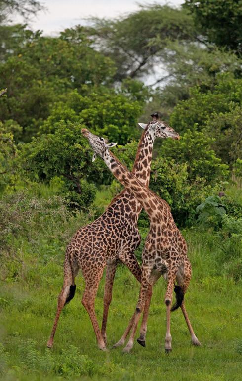 Giraffe,