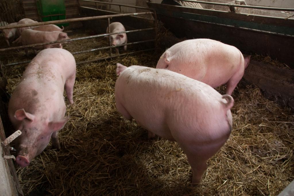 Sauwohl fühlen sich unsere Schweine auf frischem Stroh