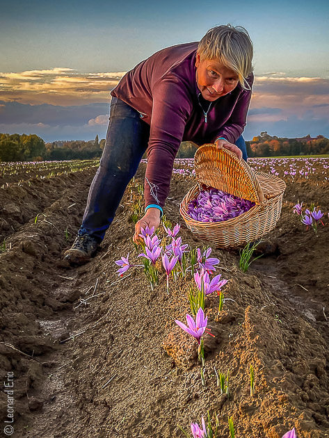 Le vrai, véritable safran, Safran de Cotchia à la cueillette, Belgique, production artisanal et local. Une production naturelle.Photo Léonard Eric