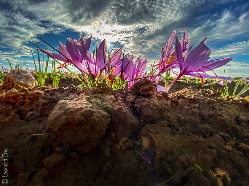 La beauté de la nature, la culture de safran est respectueuse du sol et de son environnement. Photo Léonard Eric