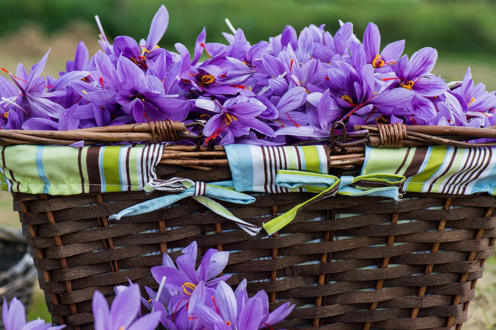 Promotion de 10 % sur les bulbes de crocus sativus et un stage de safranier.