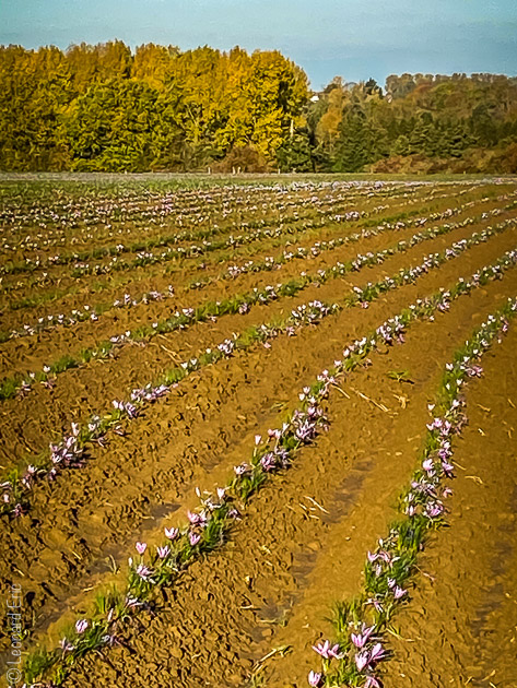 Safran de Cotchia, Visite d'un jour, tourisme, province de liege, belgique, belgie, safran, floraison