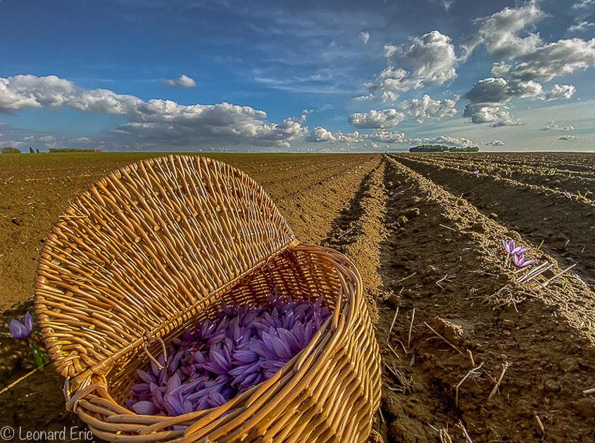 Récolte du safran au Safran de Cotchia, une culture en plein air, naturelle en respect avec la nature. Stage pour les futurs Safranier.Formation. Photo Léonard Eric