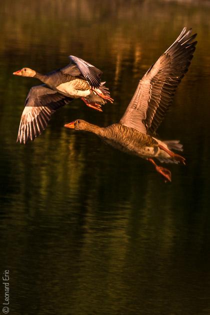 Photo animalière, Le plaisir photographique, Léonard Eric,décollage à l'heure bleue.