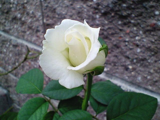 「ユキサン」という名のバラ