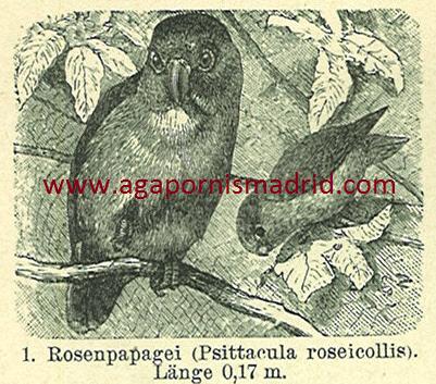 1894 - Papageien II (detalle de un bonito dibujo de un A. roseicollis.