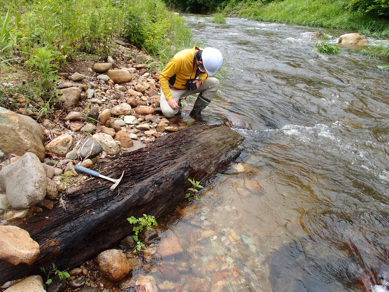 大谷川より新たな埋もれ木が発見されました。
