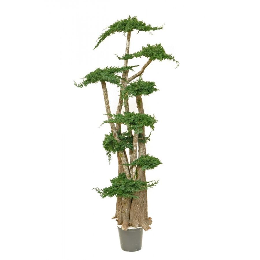 arbre bonsa stabilis vegetal indoor mur v g tal stabilis. Black Bedroom Furniture Sets. Home Design Ideas