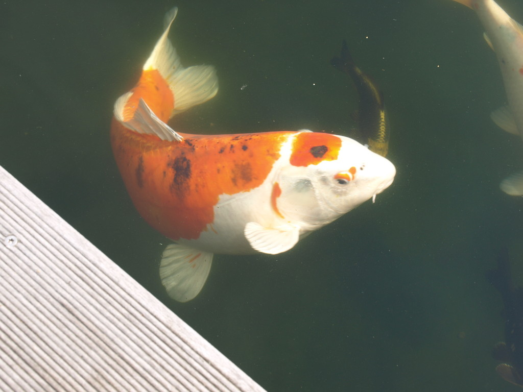 Les poissons japonais de l'ami de Horst.
