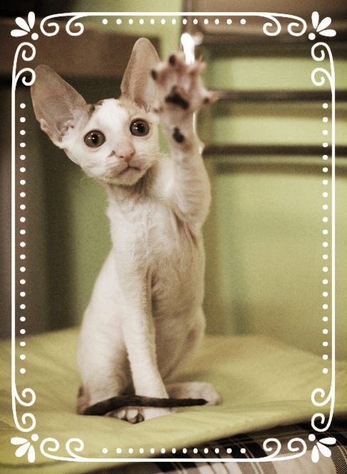 cat katze gato cornish rex breed cornish rex rassenkatzen kittens gatitos kätzchen