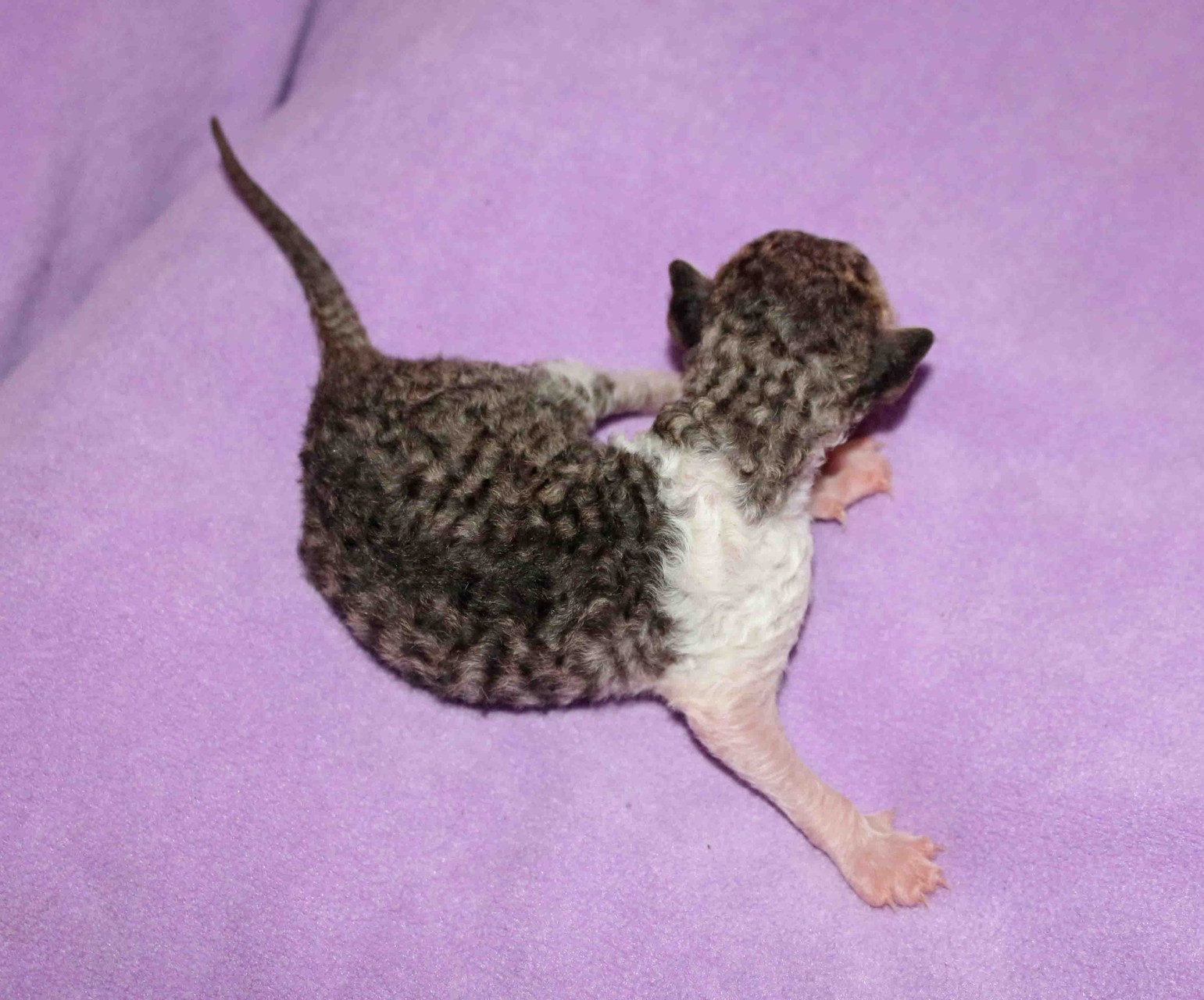 Cornish Rex Babe