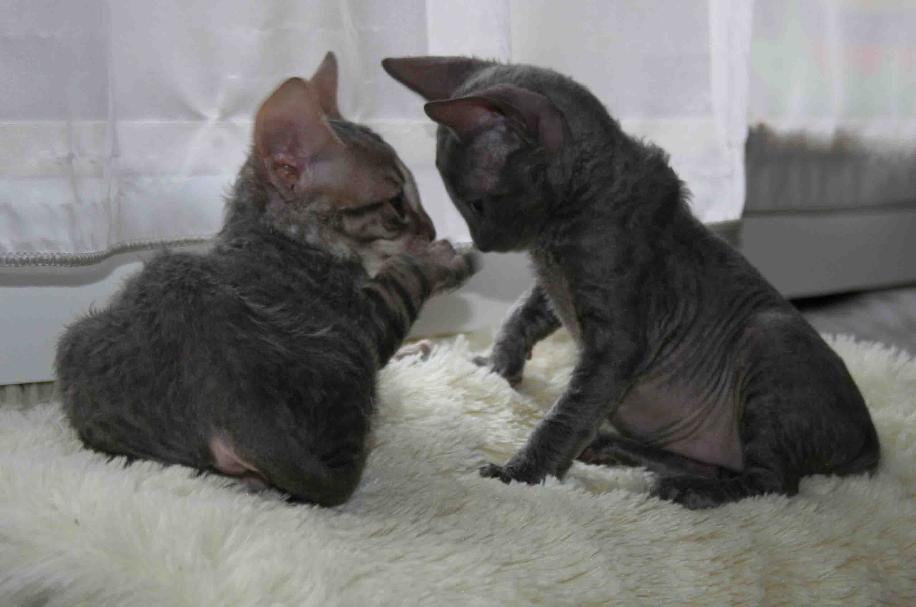 sweet Cornish Rex