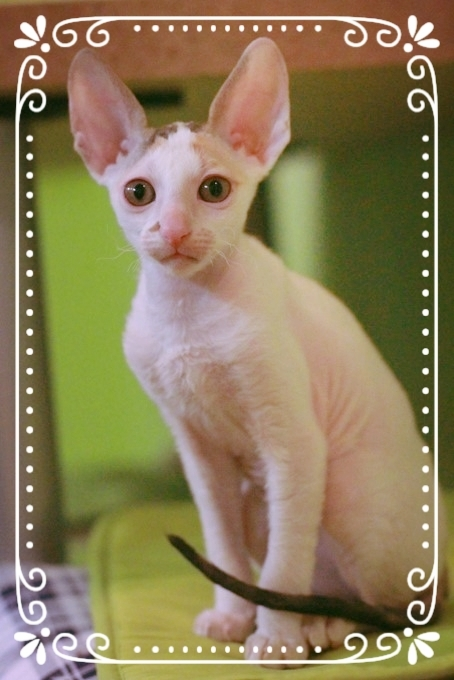 Cornish Rex, Zuchtkatze, Lockenkatze, Cornish Rex Breed, Cat,Katze