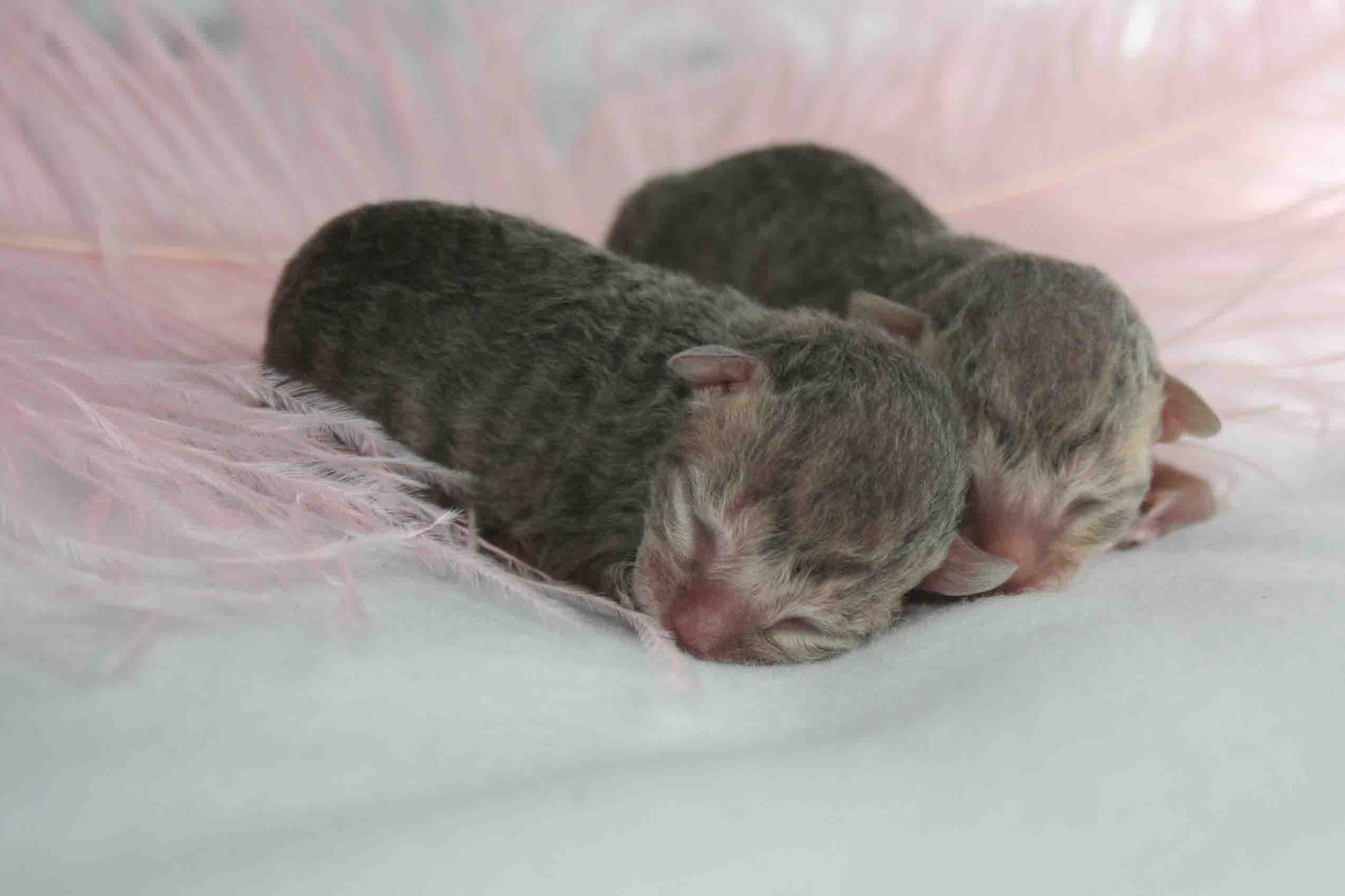 "A Wurf  ""Blue Angels"" Cornish Rex"