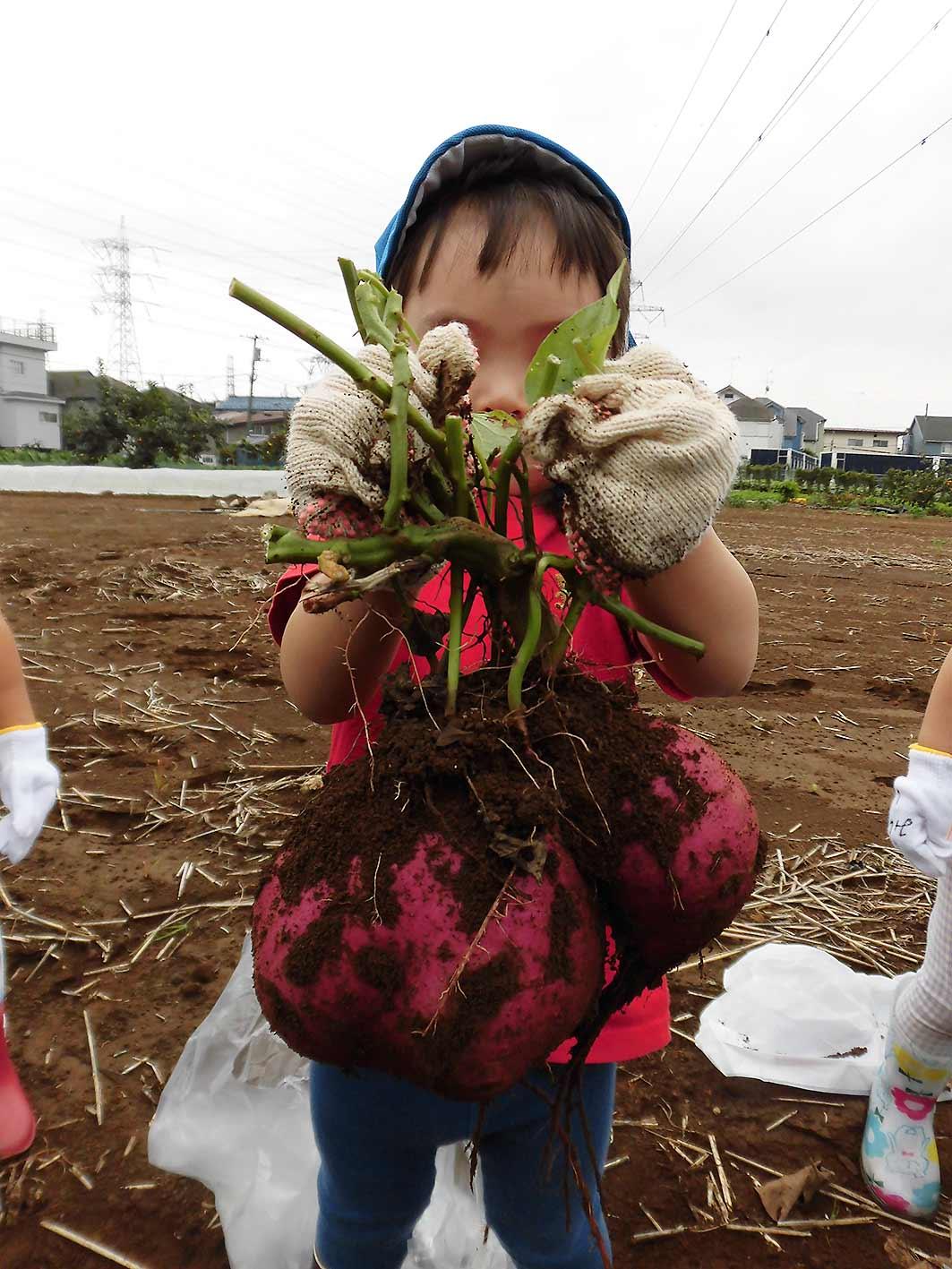 COCO-ro保育園、お芋掘りの様子です