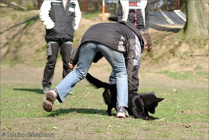 Beutespiel mit Australian Kelpie