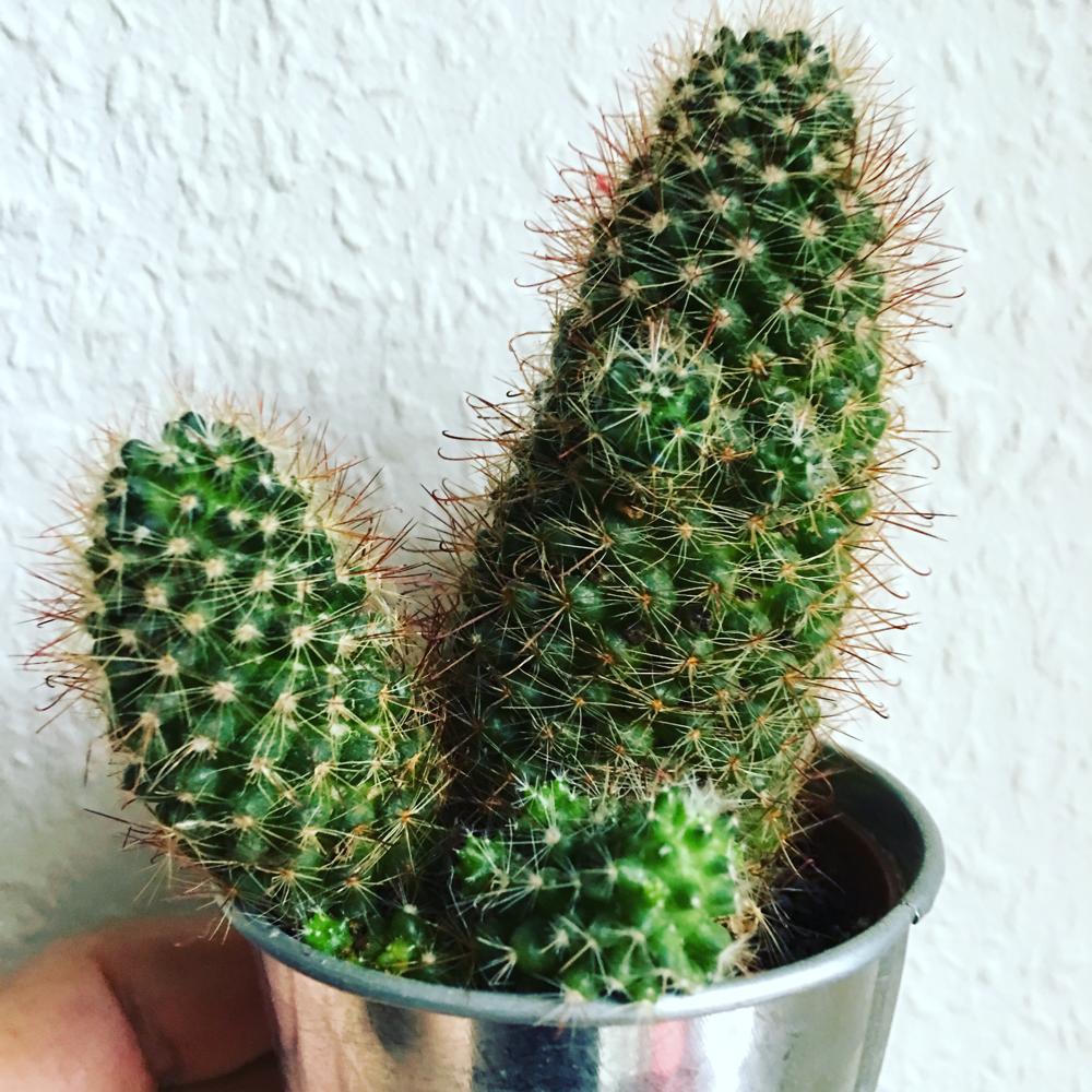 Winkender Kaktus mit Erektion