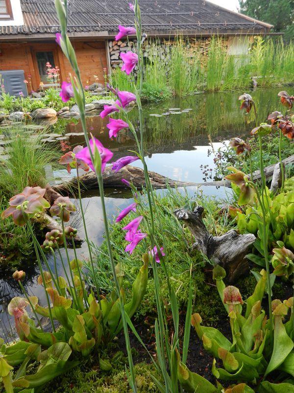 Gladiolus Palustri  Sumpfgladiole