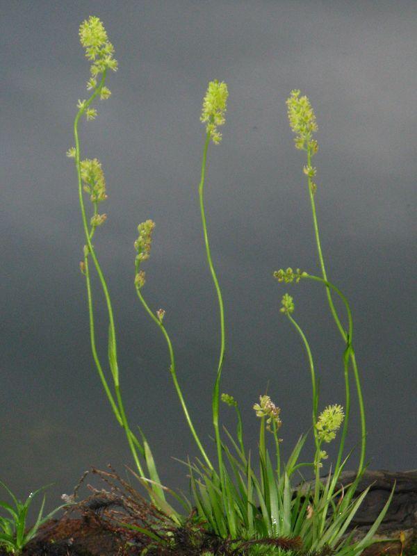 Tofieldia cayculata Simsenlilie