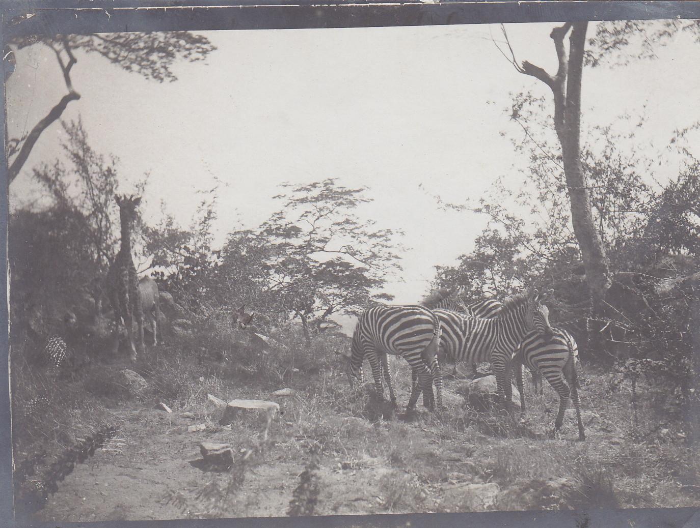 Zebras und Giraffe am Tanganjika-See