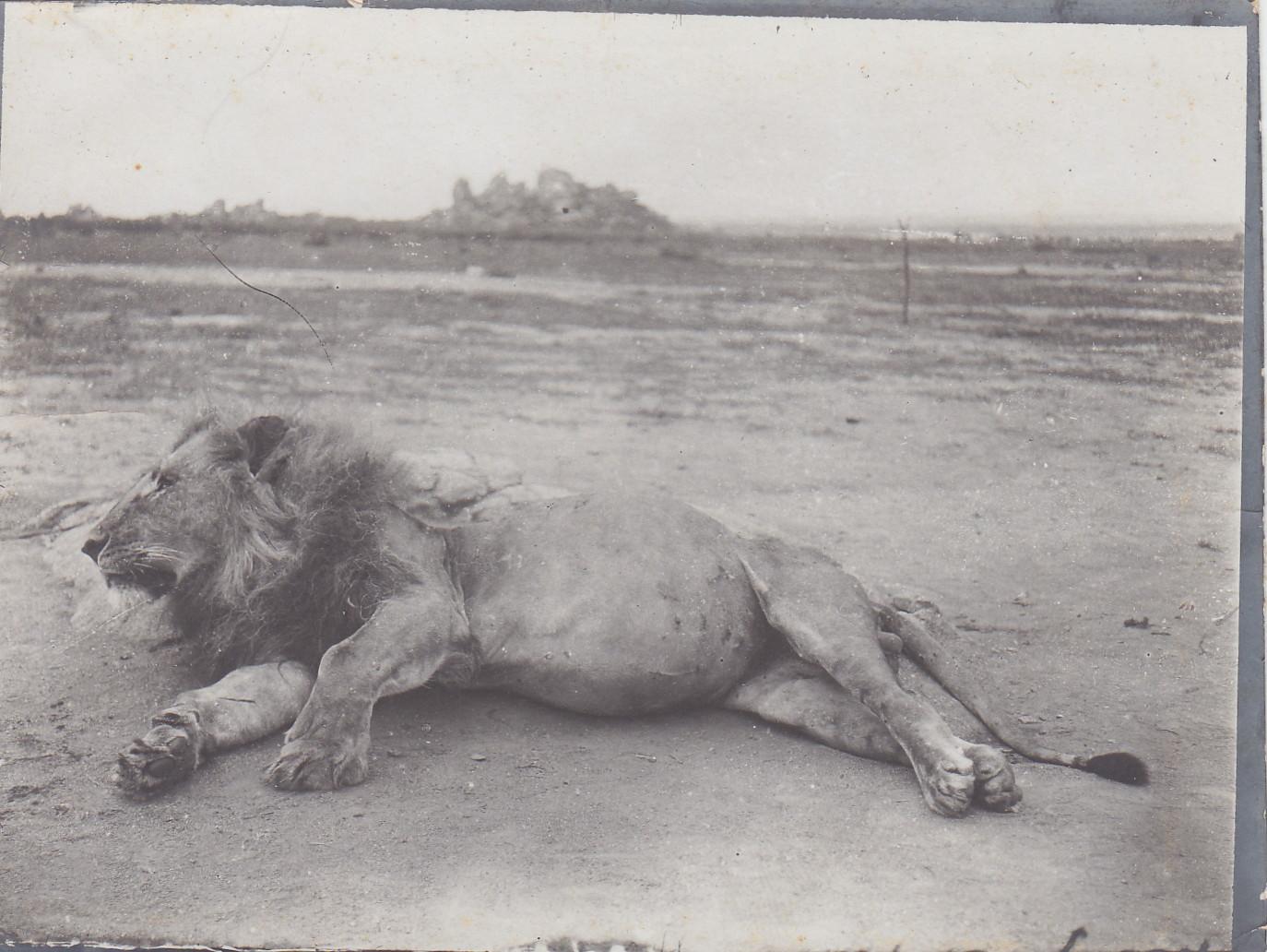 Erlegter Löwe in der Nähe von Ujidji - Tanganjika-See
