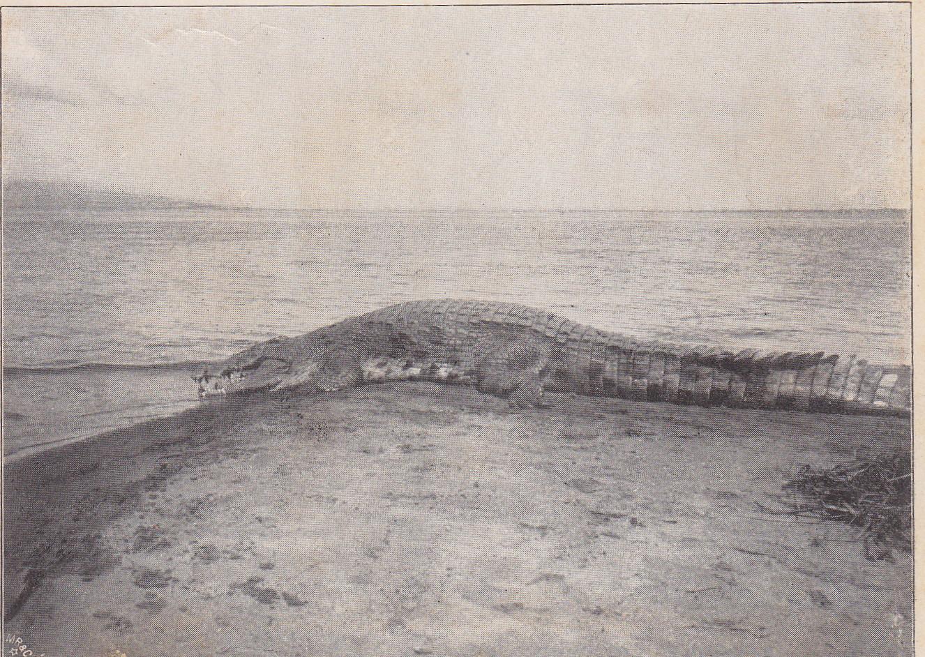 Krokodil am Tanganjika-See (Druck)